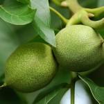 Зеленые орехи варенье